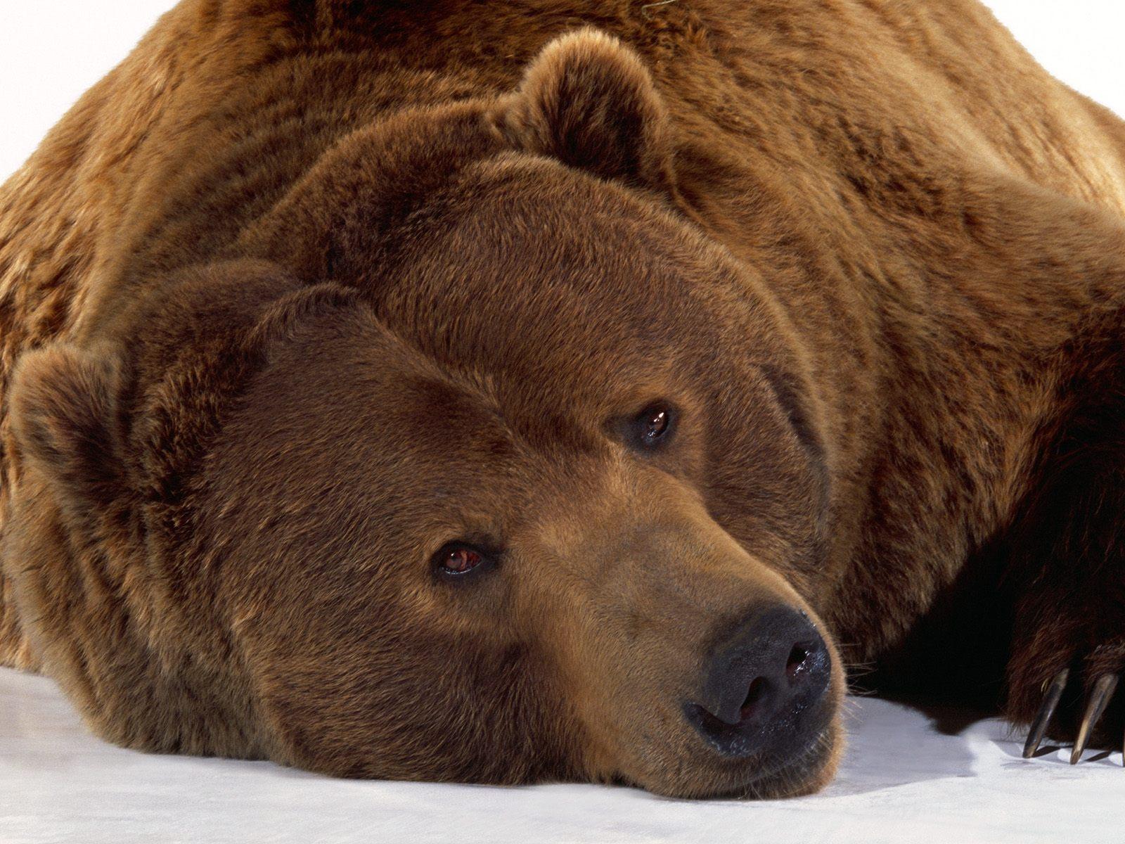 Fonds ecran animaux page 3 - Gros nounourse ...