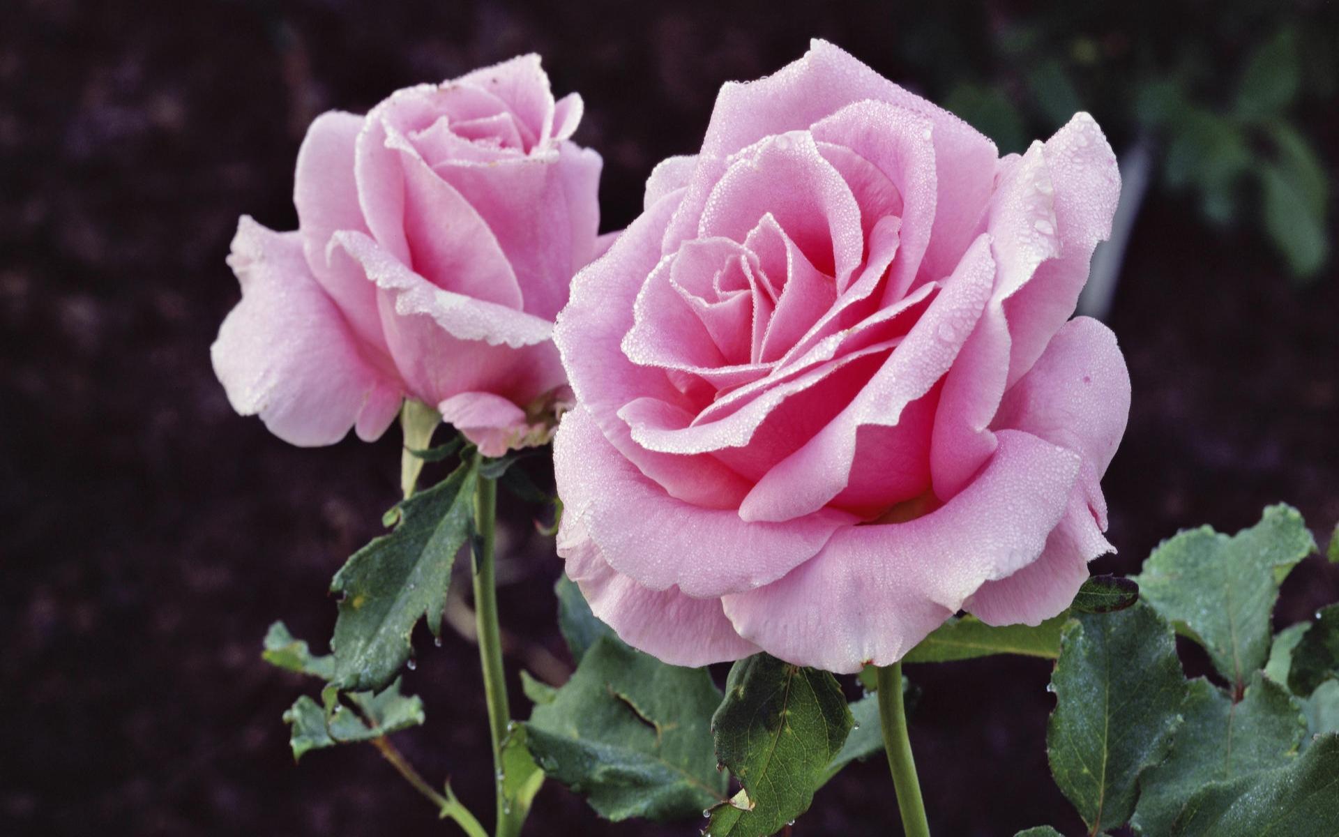Fond ecran divers for Fond ecran rose